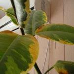 Чернеют листья у фикуса: причины и методы устранения проблемы