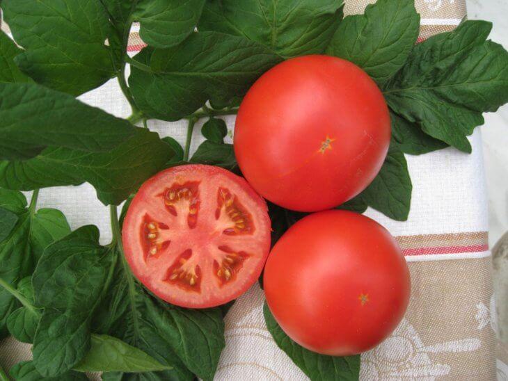 Здоровый урожай томатов