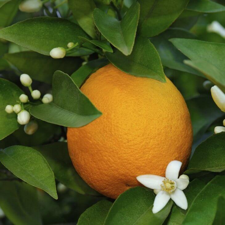 Плод дерева