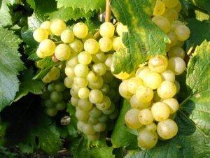 Из какого винограда делают белое вино: советы профессионалов