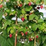 Отзывы о сорте малины «Таруса» при посадке у себя малинового дерева