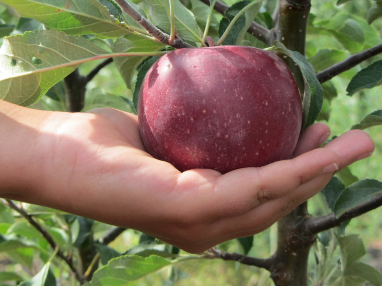 Сорт яблони подарок графского фото и описание сорта