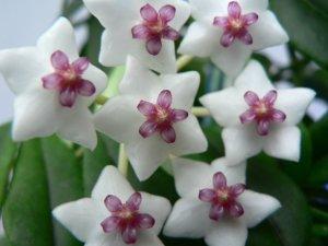 Прекрасное цветение хойи