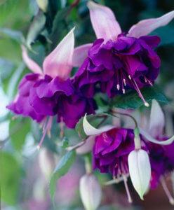 Прекрасное цветение фуксии