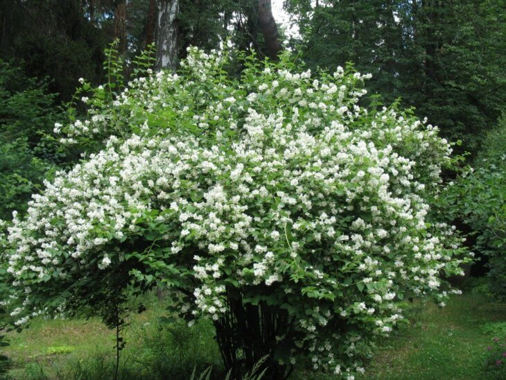Цветущий куст чубушника