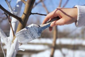 Побелка деревьев с помощью кисти