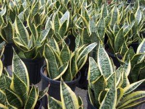 Выращивание сансевиерии в больших объемах