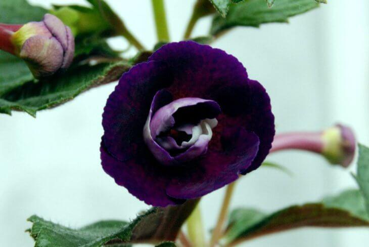 Лат.  Achimenes grandiflora