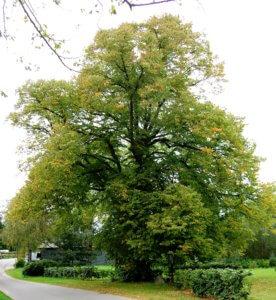 Взрослое дерево липы