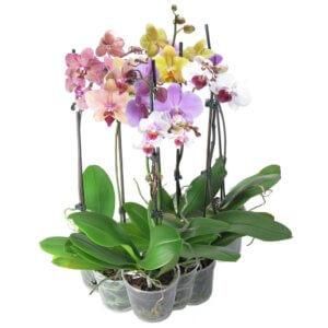 Первое цветение орхидеи в домашних условиях