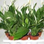 Почему у спатифиллума чернеют кончики листьев: причины и лечение