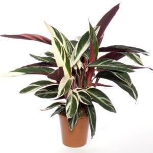Калатея: описание растения, разновидности, отличия в них