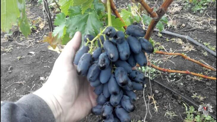 Виноград Академик и его плоды