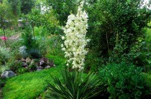 Цветение юкки в саду