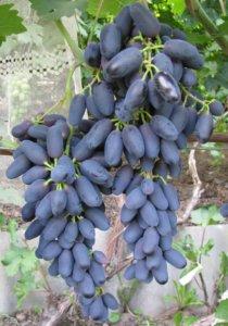 Крупный урожай винограда