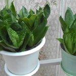 Выращиваем здоровое растение: как ухаживать за сансевиерией в домашних условиях