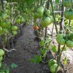 Любители томатов про сорт Тяжеловес Сибири: характеристика и описание