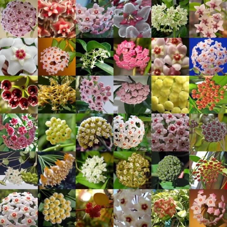 Различные виды цветения хойи