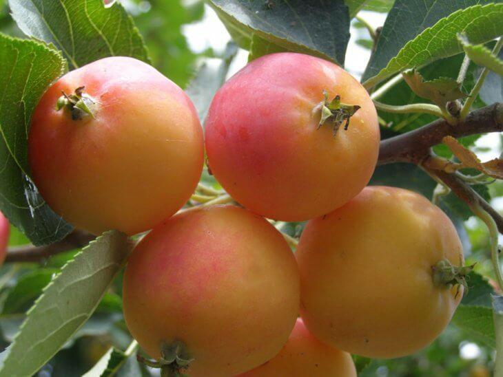 Поспевание урожая яблок