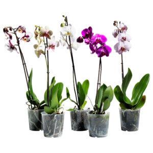 Цветение орхидеи просто прекрасно