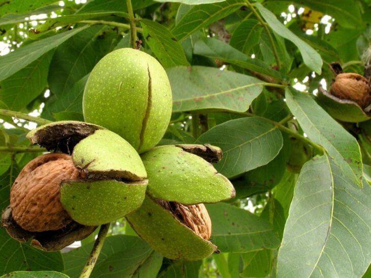 Поспевание плодов грецкого ореха