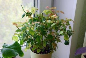Недостаток влаги может привести к желтым листочкам