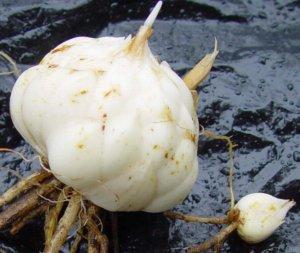 Главное в хранении луковиц - температурный режим