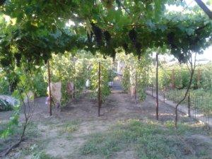 Выращивание винограда Надежда Азос в саду