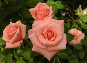Прекрасное цветение розы