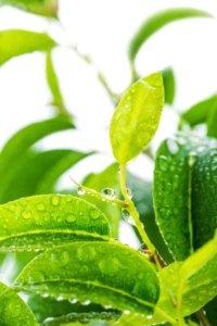 Опрыскивание фикуса поможет сохранить листики
