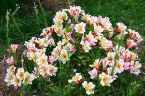 Украшение садовой территории с помощью альстромерии