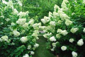 Цветение белой гортензии