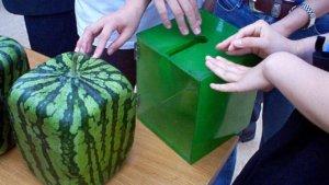 Как вырастить квадратный арбуз: делаем контейнер для придания формы