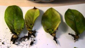 Укоренение листочков