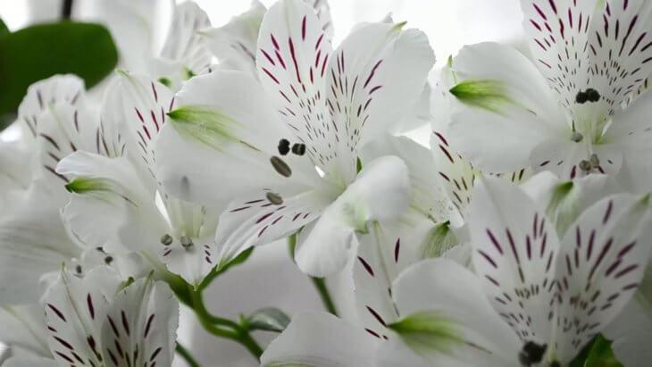 Лат. Alstroemeria