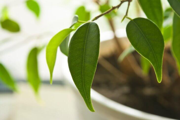 Здоровые листики фикуса