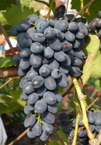 Созревший урожай винограда