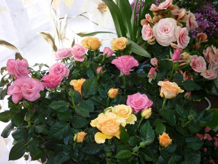 Разнообразное цветение домашней розы