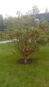 Один из сортов низкорослой яблони