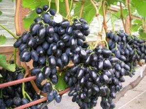 Урожай винограда Надежда Азос