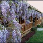 Декоративная глициния Блю Мун: условия выращивания и уход
