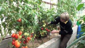 Выращивание томатов теплице
