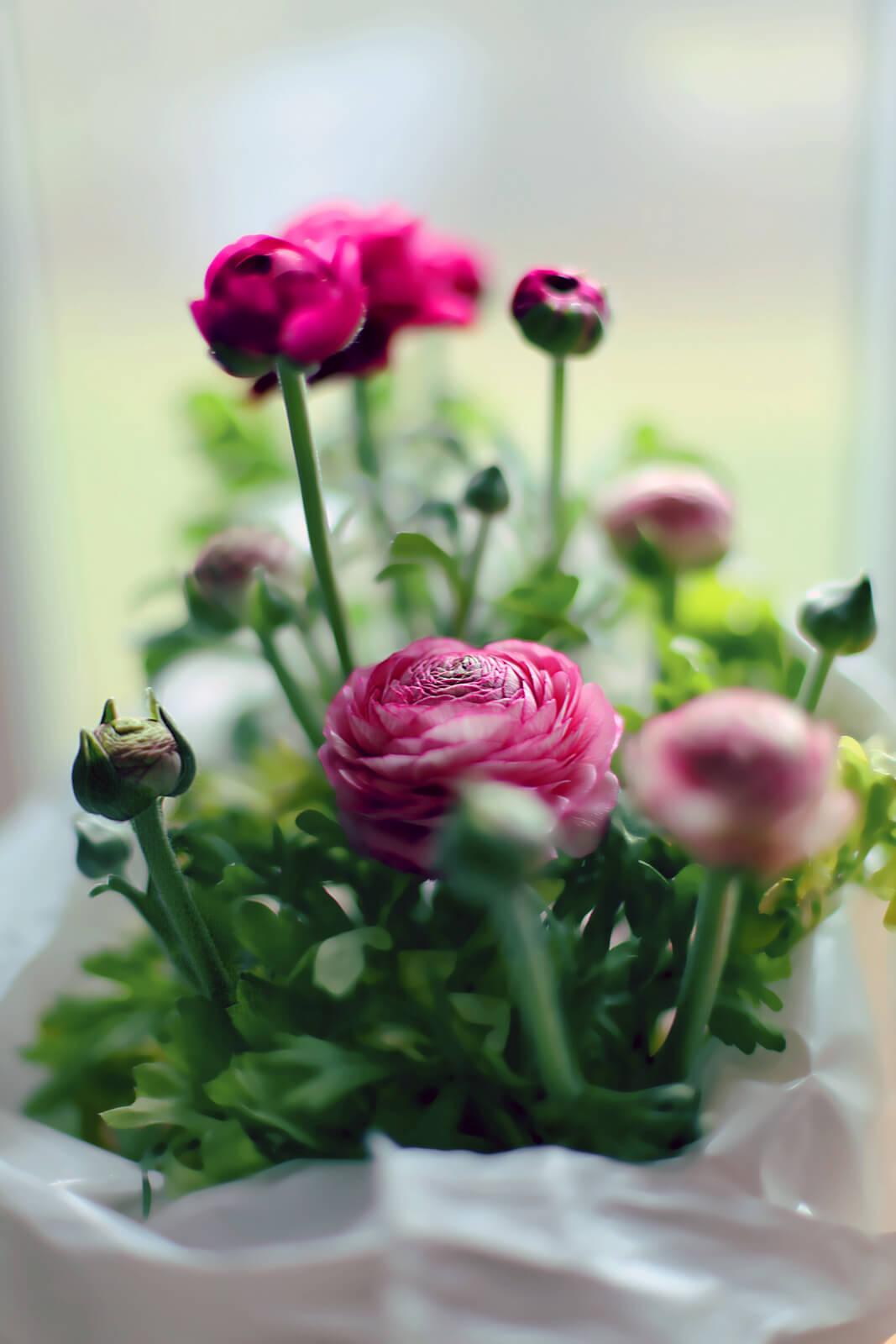Ранункулюс цветы фото и посадка