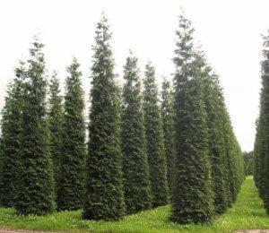 Молодые деревья туи