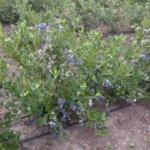 Как подкислить почву для голубики: самые эффективные средства