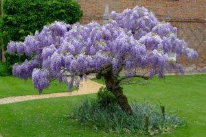 Выращивание глицинии на садовой территории
