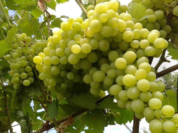 Прекрасный урожай винограда