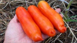 Полностью созревшие томаты Аурия