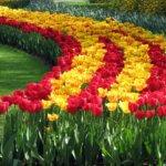 Как размножается тюльпан: особенности разведения