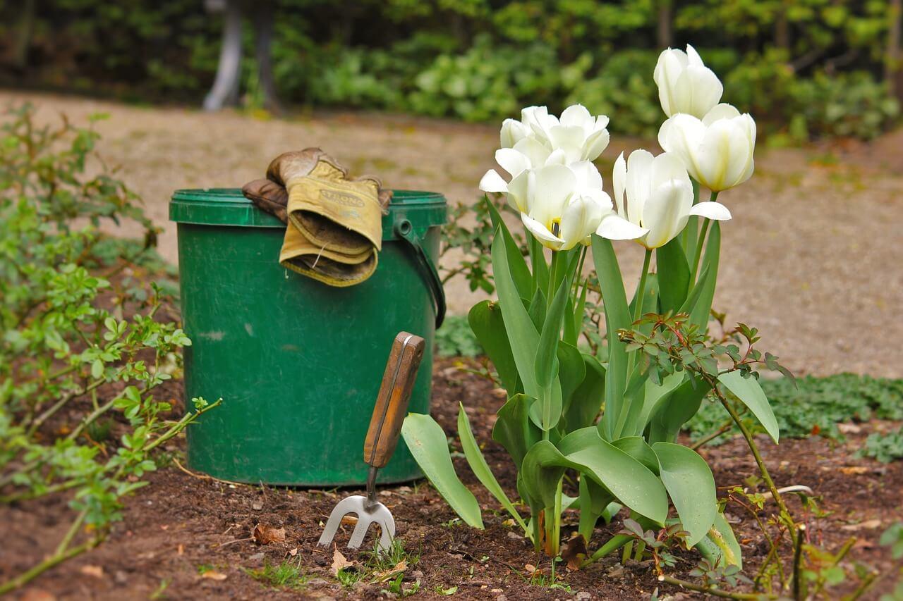 Тюльпаны: посадка и выращивание в саду, сорта, борьба с 81